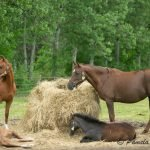 Pastured mares and babies